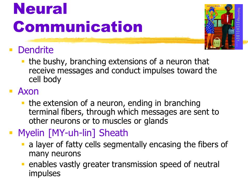 Neural Communication Dendrite Axon Myelin [MY-uh-lin] Sheath